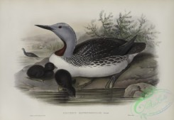 waterfowls-01174 - 568-Colymbus septentrionalis, Red-throated Diver