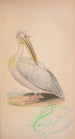 waterfowls-01464 - White Pelican