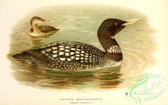 waterfowls-01513 - Great Northern Loon, colymbus adamsi