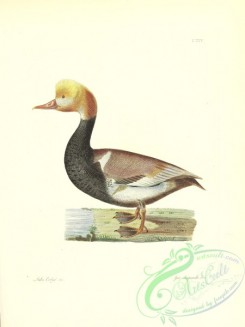 waterfowls-01955 - Red-crested Pochard, anas rufina