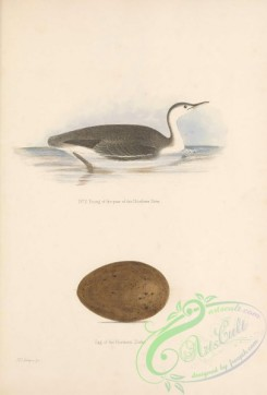 waterfowls-01987 - Northern Diver