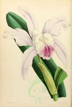 white_flowers-00002 - Cattleya Dominiana alba [1969x2918]