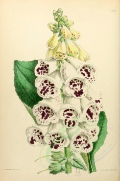 white_flowers-00005 - Foxglove New Spotted Beauty of Dorking [1933x2912]