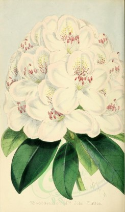 white_flowers-00016 - Rhododendron Mrs John Clutton [2086x3518]