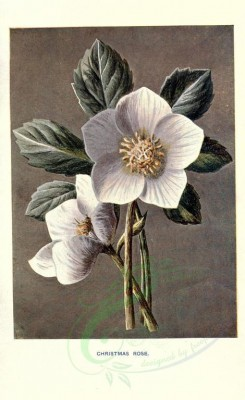 white_flowers-00018 - CHRISTMAS ROSE [1722x2812]