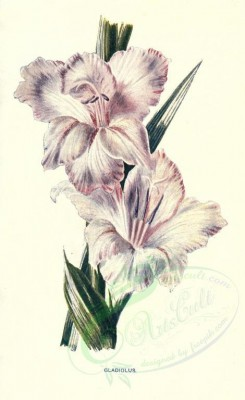 white_flowers-00019 - GLADIOLUS [1722x2812]