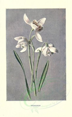 white_flowers-00021 - SNOWDROP [1722x2812]