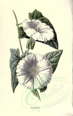 white_flowers-00030 - BINDWEED [1784x2842]