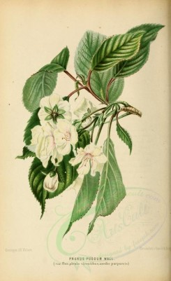 white_flowers-00037 - prunus puddum [1883x3079]