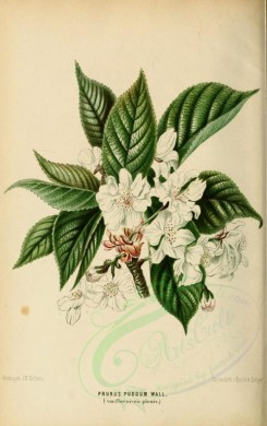white_flowers-00038 - prunus puddum, 2 [1931x3073]