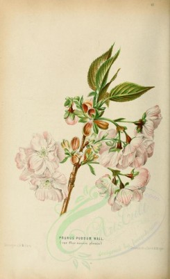 white_flowers-00039 - prunus puddum, 3 [1883x3079]