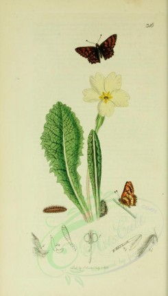 white_flowers-00047 - Common Primrose - primula vulgaris [2015x3540]