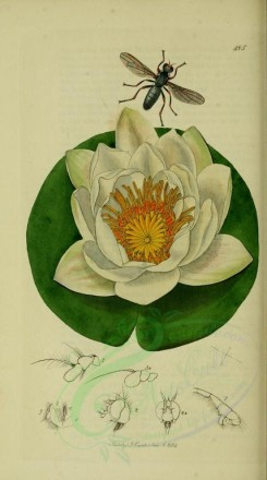 white_flowers-00049 - White Water-lily, nymphaea alba [1970x3527]