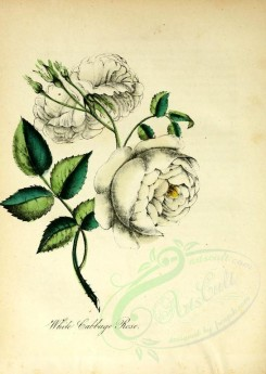 white_flowers-00091 - White Cabbage Rose [1917x2701]