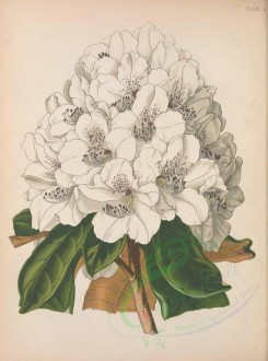 white_flowers-00100 - White Cunningham Rhododendron, rhododendron cinnamomeum cunningham [3319x4470]