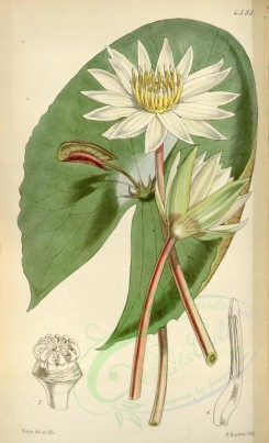 white_flowers-00240 - 4535-nymphaea micrantha, Small-flowered proliferous Water-Lily [2119x3482]