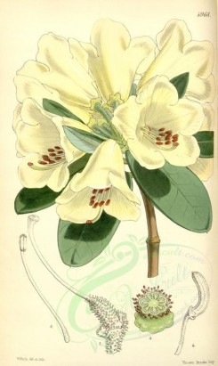 white_flowers-00244 - 4968-rhododendron campylocarpum, Curved-fruited Rhododendron [2099x3516]