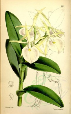 white_flowers-00254 - 5643-epidendrum eburneum, Ivory-flowered Epidendrum [2260x3637]