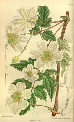 white_flowers-00458 - 8702-clematis fargesii souliei [2148x3510]