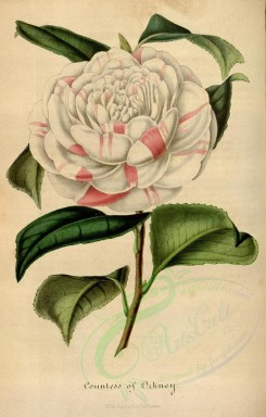white_flowers-00527 - camellia countess of orkney [2299x3599]