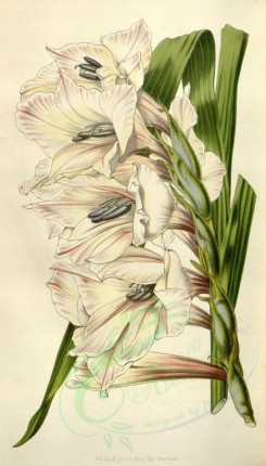 white_flowers-00564 - gladiolus willmoreanus [2080x3647]