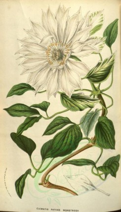 white_flowers-00709 - clematis patens monstrosa [2154x3768]