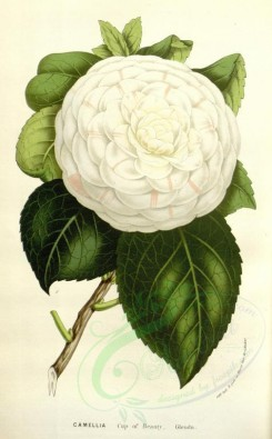 white_flowers-00923 - Camellia Cup of Beauty [2163x3484]