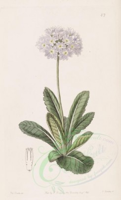 white_flowers-00959 - 047-primula denticulata, Tooth-letted Primrose [2797x4606]