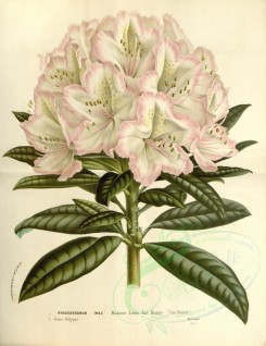 white_flowers-01019 - rhododendron madame louis van houtte [3746x4852]