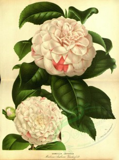 white_flowers-01097 - cameliia japonica madame ambroise [3712x5003]