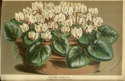 white_flowers-01131 - cyclamen atkinsi [3667x2366]