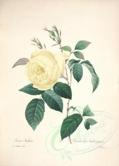 white_flowers-01161 - rosa indica, 2 [5060x7050]