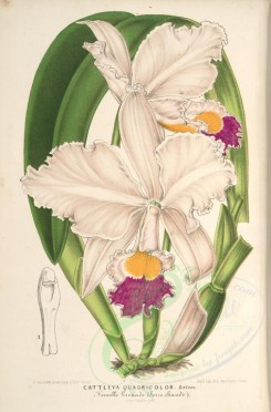 white_flowers-01239 - cattleya quadricolor [3916x5941]