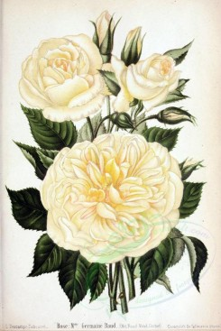 white_flowers-01335 - 005-Rose - Melle Germaine Raud [2639x3950]