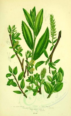 willow-00060 - 073-Tea-leaved Willow, Small Tree Willow, Green Whortle-leaved Willow, salix phylicifolia, salix arbuscula, salix myrsinites [2193x3577]