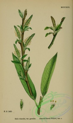 willow-00184 - Almond-leaved Willow, salix triandra genuina