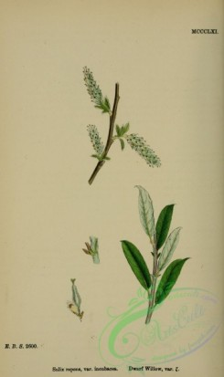 willow-00214 - Dwarf Willow, salix repens incubacea