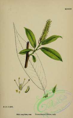 willow-00231 - Pointed-leaved Willow, salix cuspidata