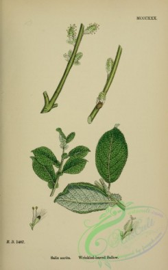 willow-00258 - Wrinkled-leaved Sallow, salix aurita