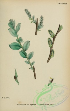 willow-00286 - Dwarf Willow, salix repens argentea