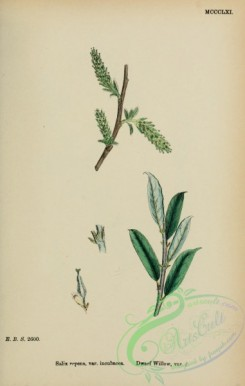 willow-00290 - Dwarf Willow, salix repens incubacea