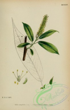 willow-00307 - Pointed-leaved Willow, salix cuspidata