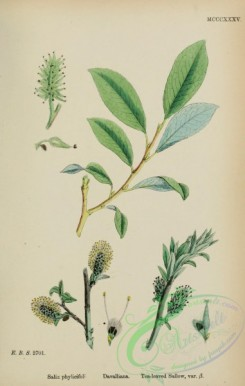 willow-00318 - Tea-leaved Sallow, salix phylicifolia davalliana