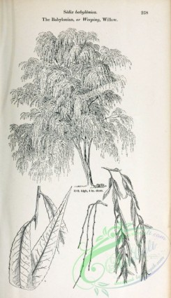 willow-00364 - Babylonian or Weeping Willow