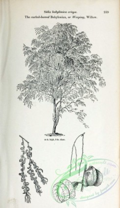 willow-00365 - Curled-leaved Babylonian or Weeping Willow
