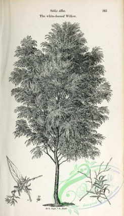 willow-00368 - White-leaved Willow