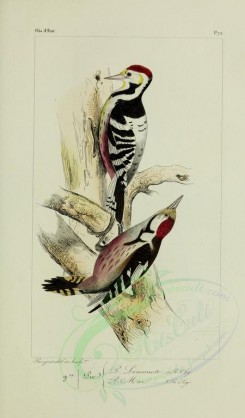 woodpeckers-00108 - White-backed Woodpecker, Middle Spotted Woodpecker [2456x4185]