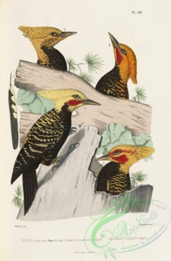 woodpeckers-00125 - celeopicus flavescens