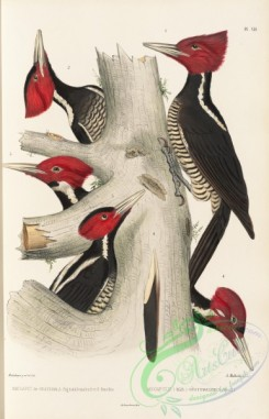 woodpeckers-00149 - megapicus guatemalensis