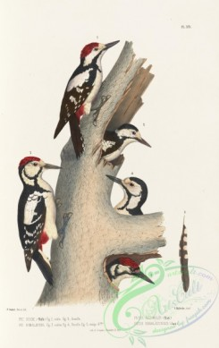 woodpeckers-00179 - Sind Woodpecker, picus assimilis, Himalayan Woodpecker, picus himalayensis